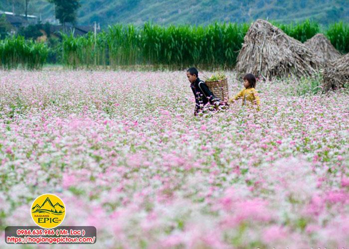 Cùng Thưởng Thức Những Mua Hoa, Mùa Lúa Hà Giang