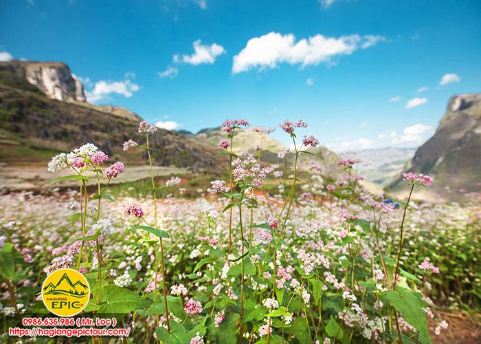 Lễ Hội Hoa Tam Giác Mạch 2020 Và Những Địa Điểm Chụp Ảnh Hoa Tam Giác Mạch Đẹp Nhất