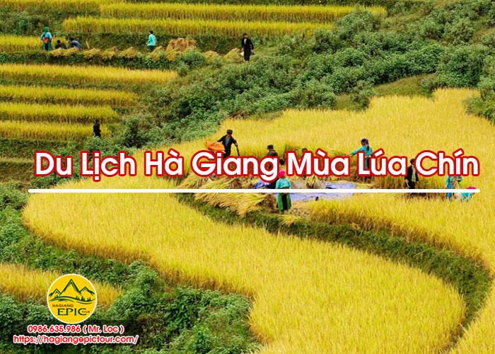 Du Lịch Hà Giang Mùa Lúa Chín